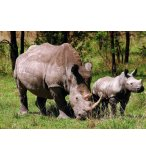 PUZZLE RHINOCEROS 1000 PIECES - COLLECTION ANIMAUX - PLAY NOW - 8884