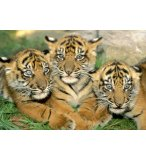 PUZZLE PETITS TIGRES 500 PIECES - EDUCA COLLECTION ANIMAUX SAUVAGES - 15965